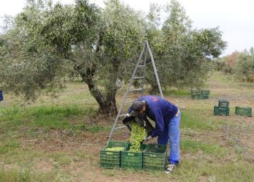 Aceite de oliva: Grecia congelada y España levantada