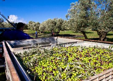 Malas previsiones de producción de aceite de oliva en España