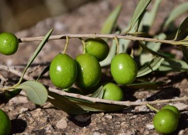 Mejoran las previsiones de producción de aceituna de mesa