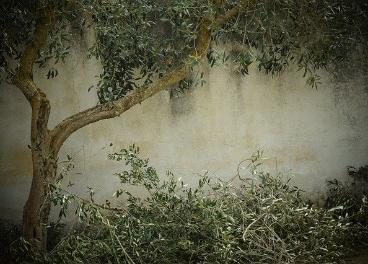 La cara y la cruz del cambio climático en el olivar andaluz