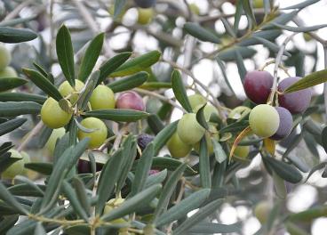 La UE asigna 35 MM€ al sector del olivar italiano