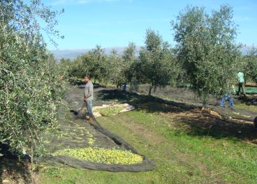 Recogida de aceituna en Extremadura