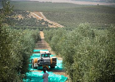 Recogida de aceituna de Oleícola Jaén