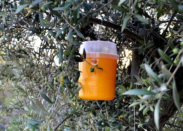 Trampas contra la mosca del olivo