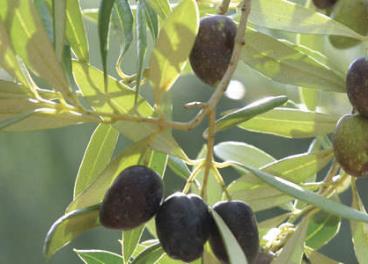 El objetivo es mostrar el trabajo de la vid y el olivo como sumidero de CO2.