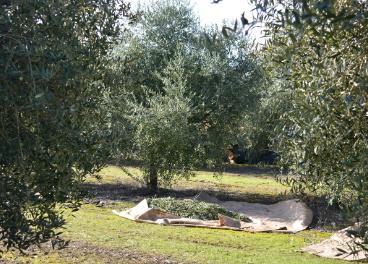 Olive-Miracle predice cómo crecerán los árboles en función de diferentes variables.