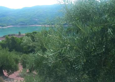 Olivar en Sierra de Segura