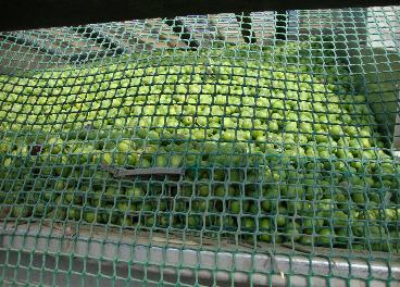 Aceituna de verdeo