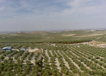 Olivar en Túnez