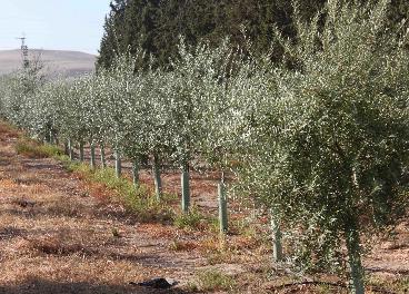 Plantación en seto de olivar