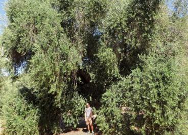 Premio Mejor Olivo Monumental 2019: Olivo de Fuentebuena.