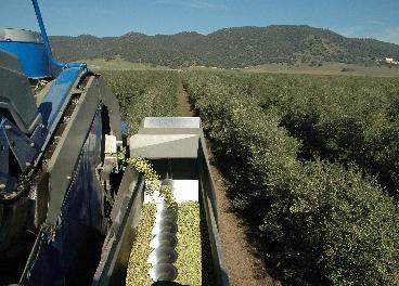 Recogida de aceituna olivar superintensivo