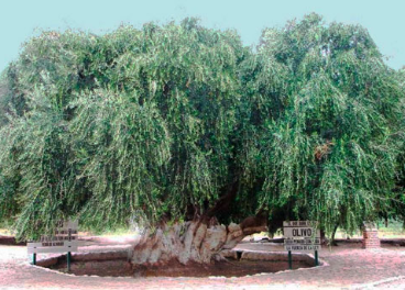 "Olivo denominado ""Padre de la Olivicultura""."