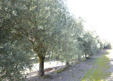 Los expertos han identificado que los aceites que vienen de árboles en condiciones de estrés hídrico tienen más antioxidantes.