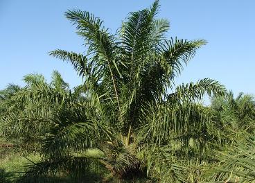 El 69% del aceite de palma utilizado en Europa es sostenible.