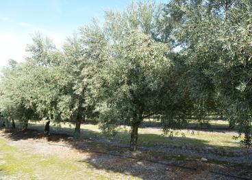 El golpe de calor de mayo influyó en muchas áreas y sobre todo la vecería ha pasado factura al olivar para la próxima cosecha