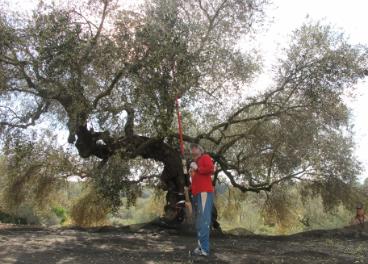 Los costes de producir aceite de oliva en valencia es superior al precio.