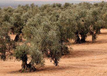 Olivar de la provincia de Jaén