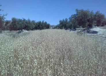 Siembra de avena entre calles de olivar.